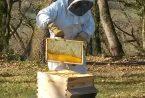 abeilles printemps